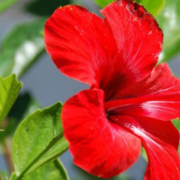 How to make home hibiscus hair oil